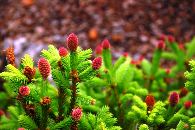 European Spruce Ranges And Commentary On Picea Spp